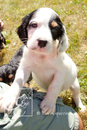 Spaniel pups at Stray Haven, Waverly NY by The Camera's Eye