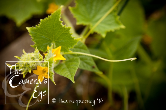 Vines026