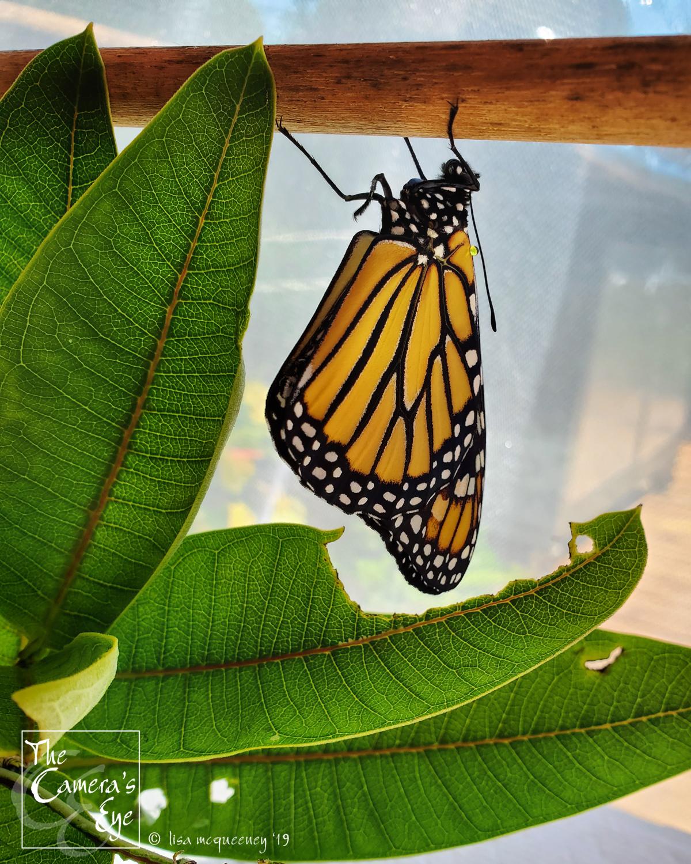 The Camera's Eye, FBM, OWEGO, Apalachin, NY, Monarch Watch 3