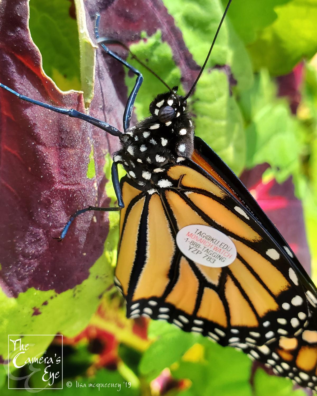 The Camera's Eye, FBM, OWEGO, Apalachin, NY, Monarch Watch 6